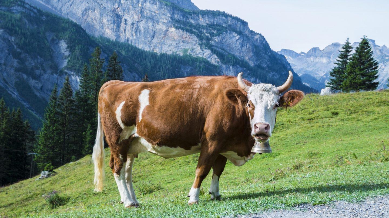 cow-1644166_1920